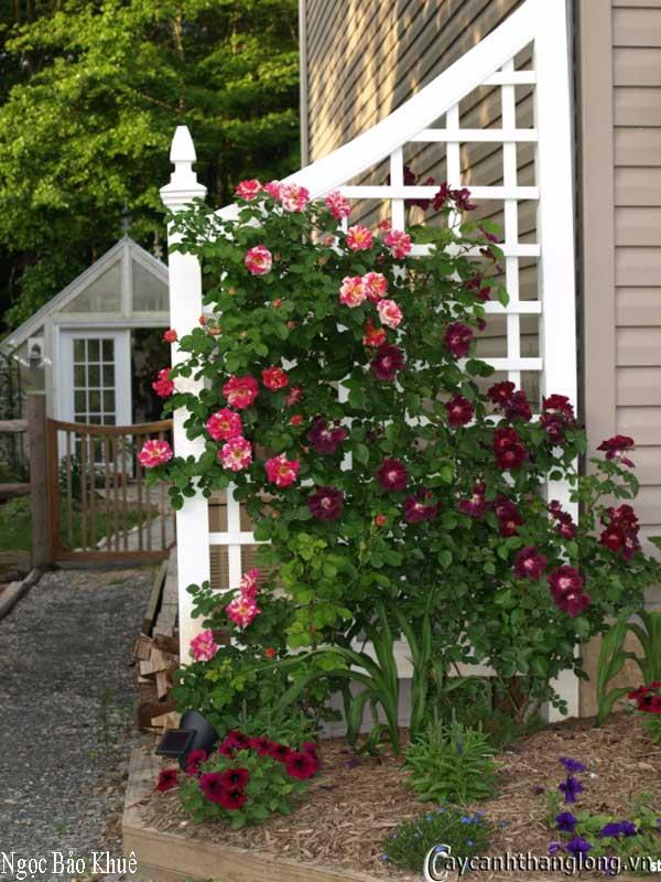 Cây Hoa hồng leo nhập ngoại màu kẻ sọc độc đáo - Ngọc Bảo Khuê 49
