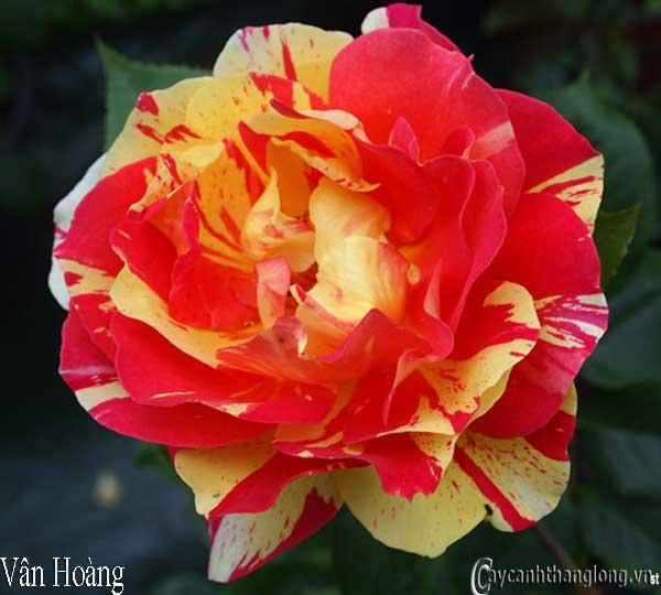 Hoa hồng leo nhập ngoại màu kẻ sọc độc đáo - Vân Hoàng 64 nở hoa