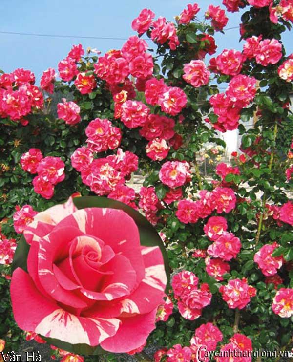 Hoa hồng leo nhập ngoại màu kẻ sọc độc đáo - Vân Hà 67