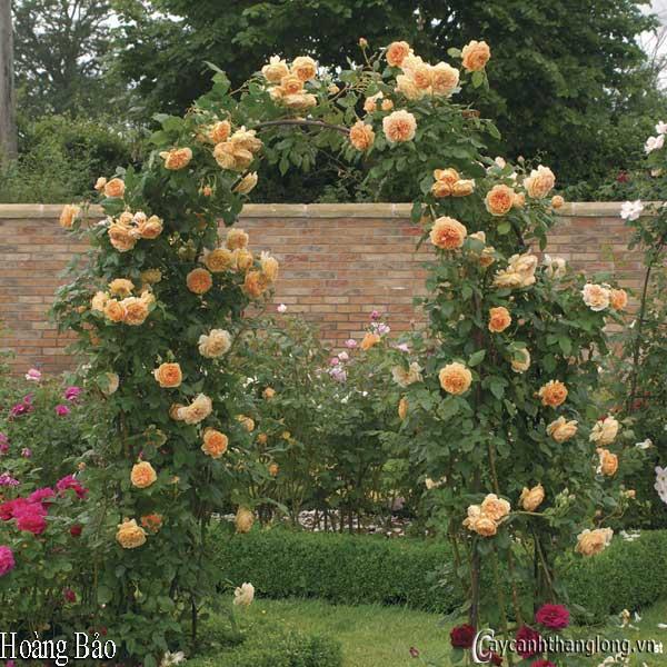 Cổng vòm hoa hồng leo màu vàng Hoàng Bảo