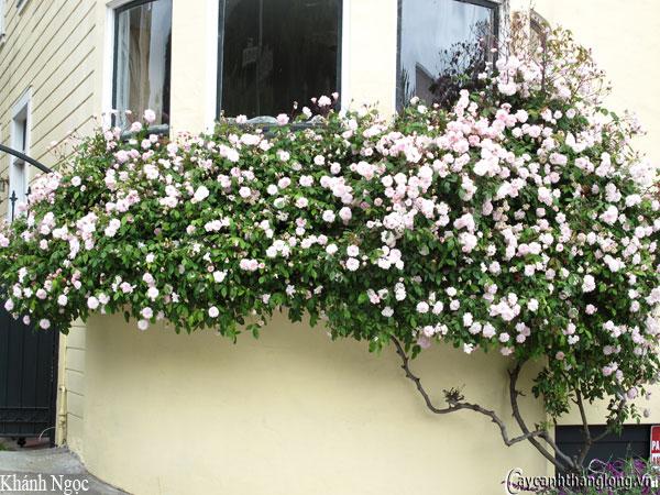 hoa hong ban cong khanh ngoc