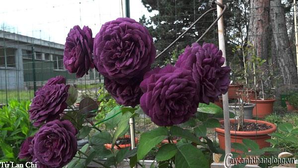 Hoa hong leo tu lan chi 01