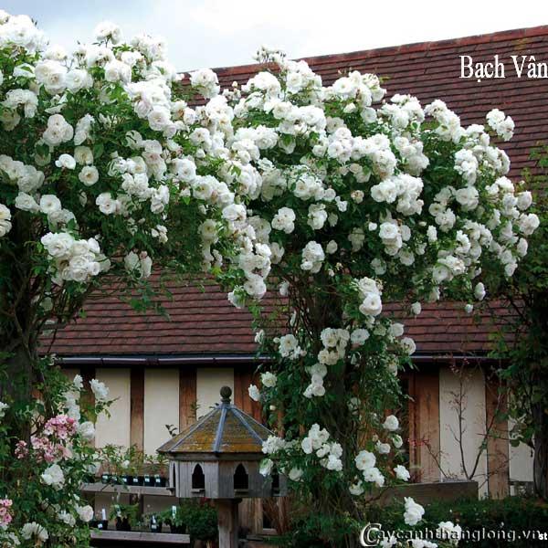 Giàn hoa hồng leo màu trắng Bạch Vân tuyệt đẹp