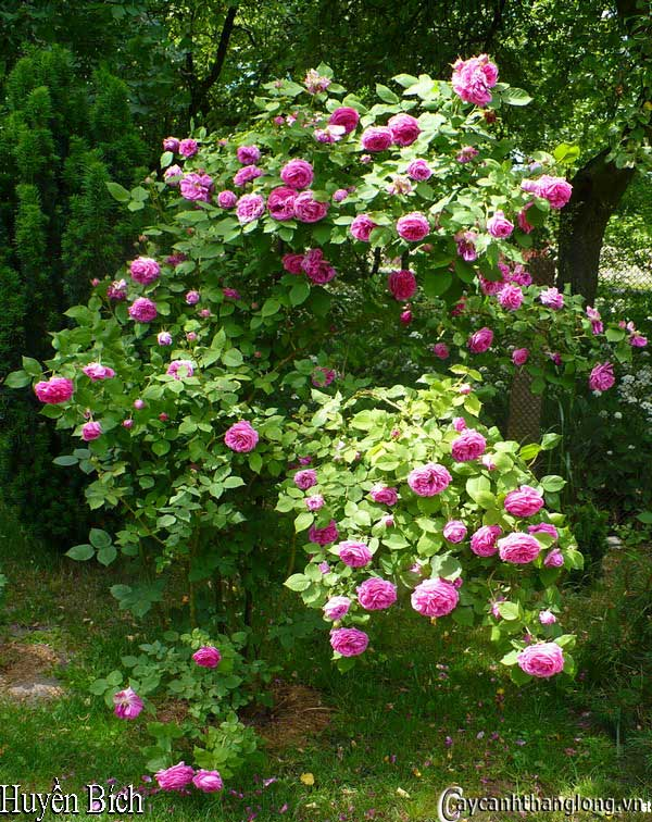Hoa hồng siêu leo - hồng leo Huyền bích leo cao 10m