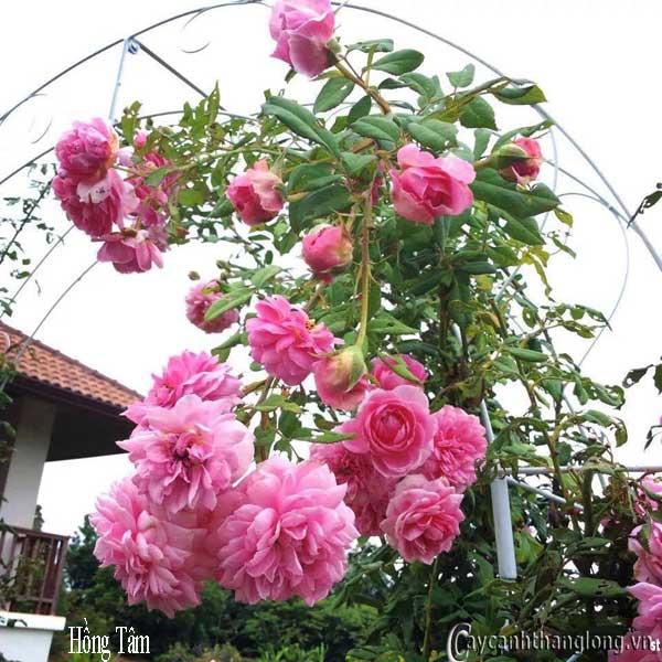 Hoa hồng siêu leo Hồng Tâm - leo cao 5-8m