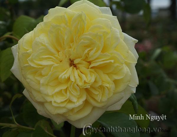Hoa hồng ngoại màu vàng Minh Nguyệt 135
