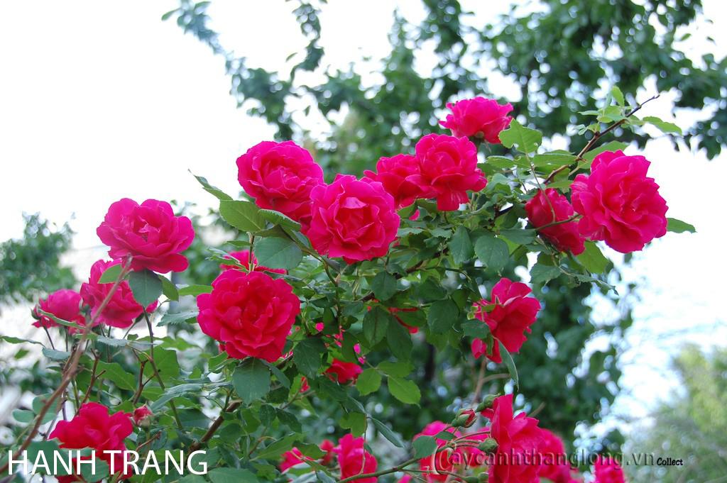 hoa hong ban cong - hong hanh trang