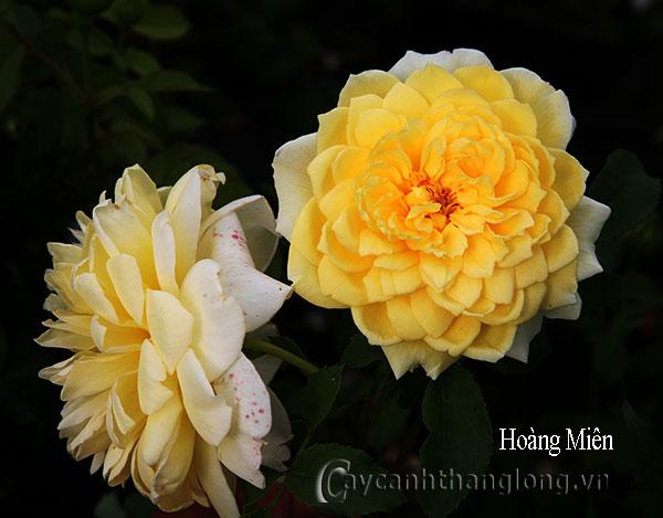 Hoa hồng vàng Hoàng Miên