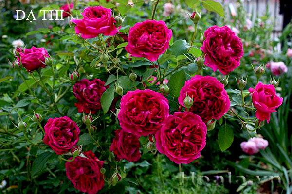 Hoa hồng bán leo Dạ thi - 167 có thể leo cao 3-5m