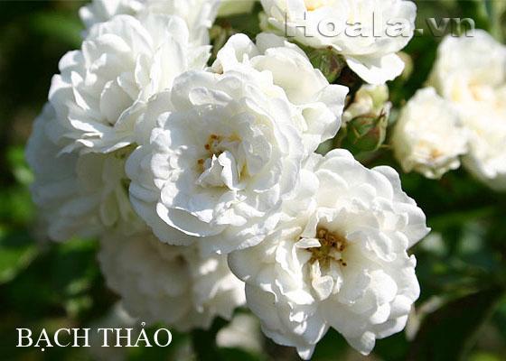 Hoa hong leo mau trang - Hong leo bach thao 169