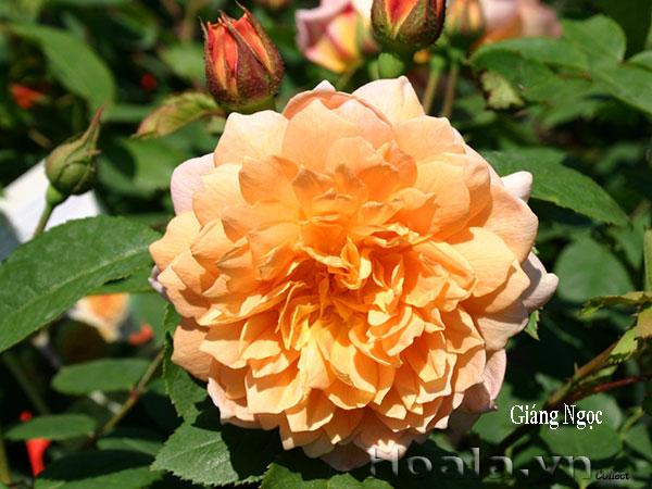 Hoa hồng bán leo Giáng Ngọc leo cao 2-3m