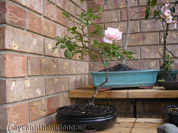 hoa hong bonsai 010
