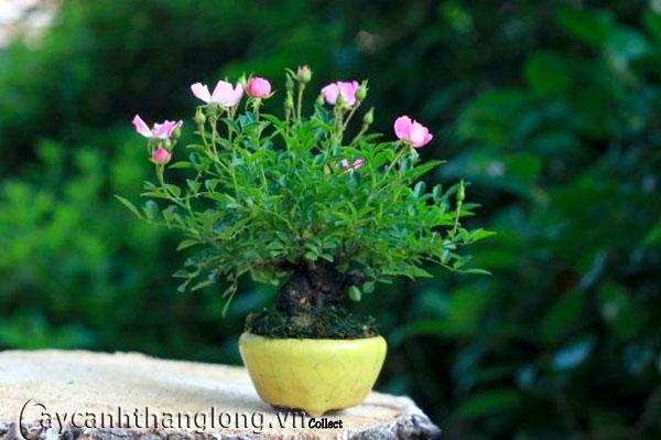 hoa hong bonsai 11