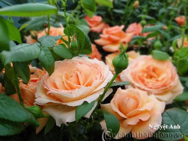 Hoa hong leo Nguyet anh