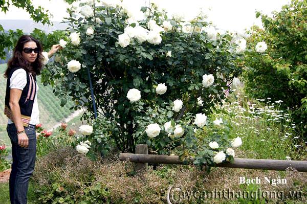 Cay hoa hong trang bach ngan sai hoa huong thom ngat