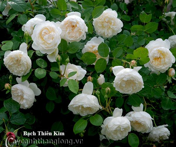 Hoa hong leo mau trang - Hong leo Bach thien kim 212