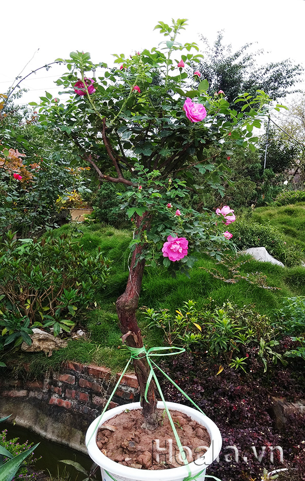 hoa hong tree rose co dang bonsai