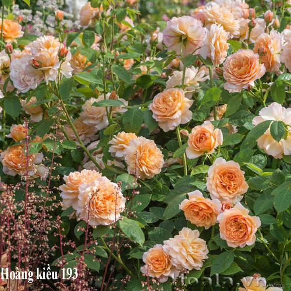hoa hong leo hoang kieu