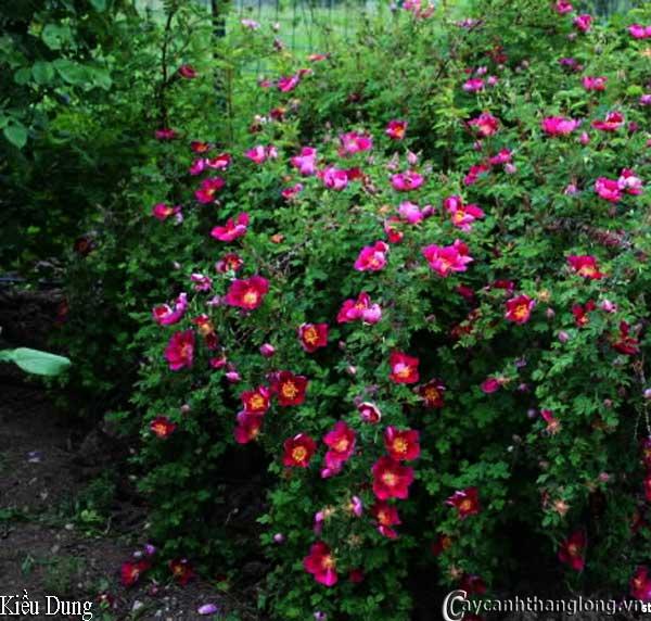 hoa hong ban cong kieu dung