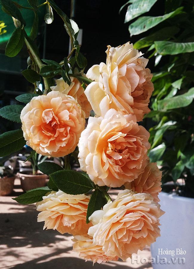 hoa hong hoang bao - hong david austin
