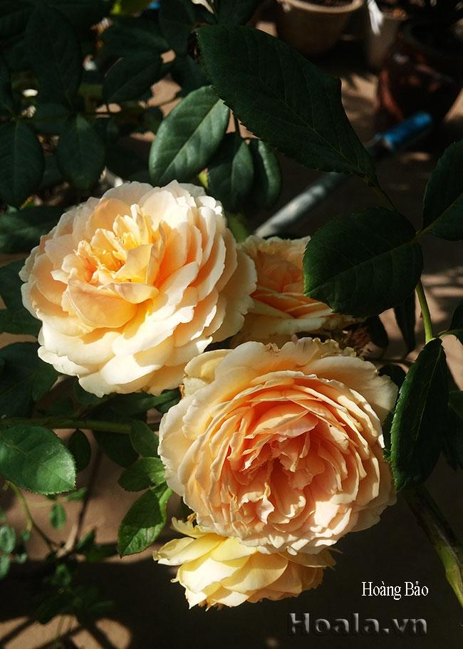 hoa hong david austin - hong hoang bao 01