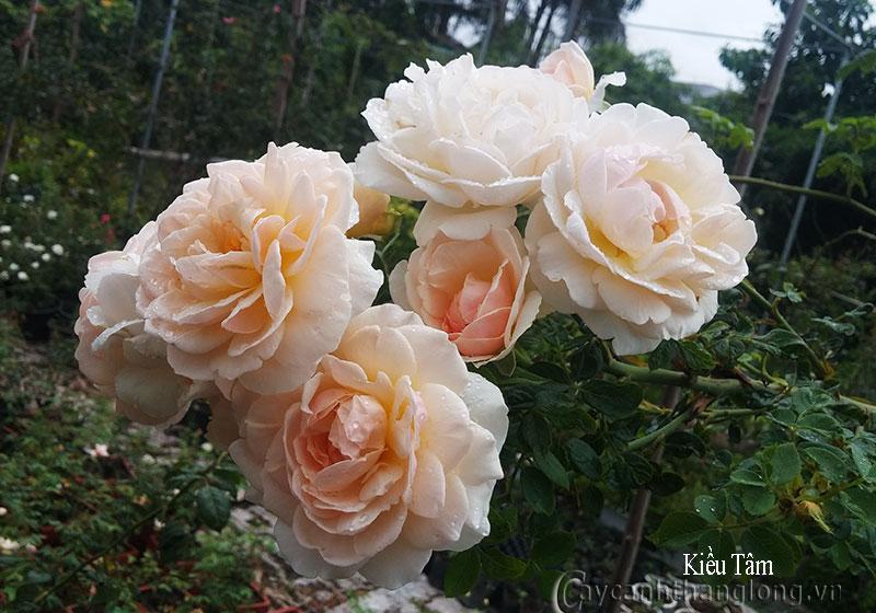 hoa hong david austin - hoa hoang leo kieu tam 01