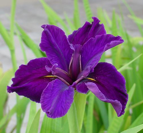 Kết quả hình ảnh cho Hoa iris