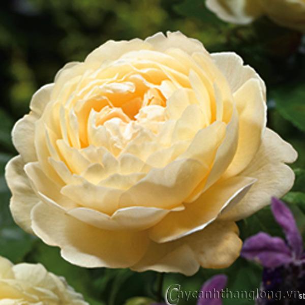 hoa hồng leo màu vàng - Bảo Thái 03