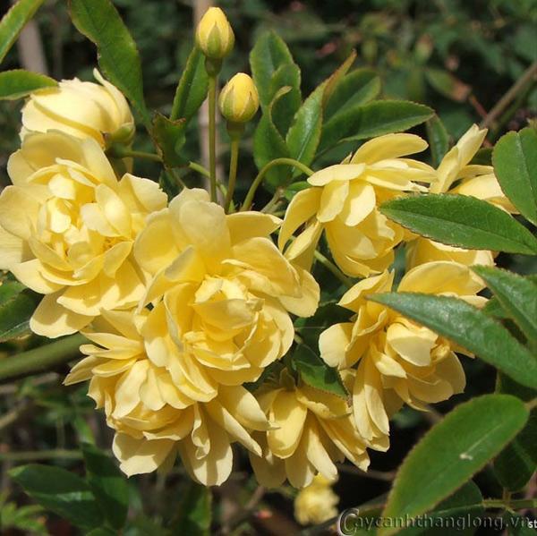 Hoa hồng ngoại - hoa hồng vàng Kim Trúc 33