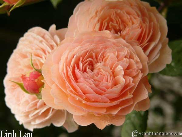 hoa hong david austin - hong linh lan