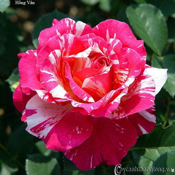 Hoa hồng leo nhập ngoại màu kẻ sọc độc đáo - hồng vân 103