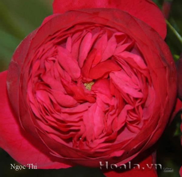 Hoa hong do - hong leo Ngoc thi 157