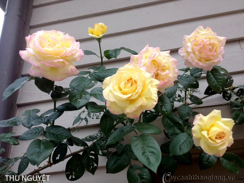 Hoa hồng ngoại màu vàng Thu Nguyệt 152