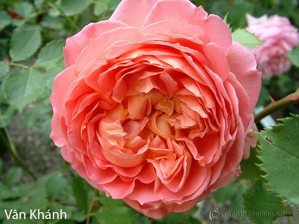 hoa hong leo Van khanh