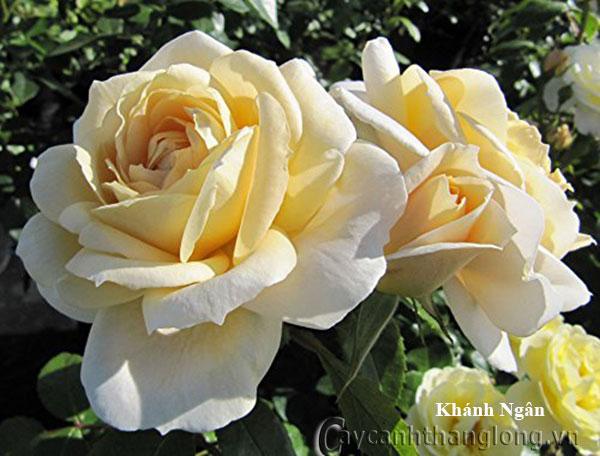 Hoa hồng vàng Khánh Ngân 214
