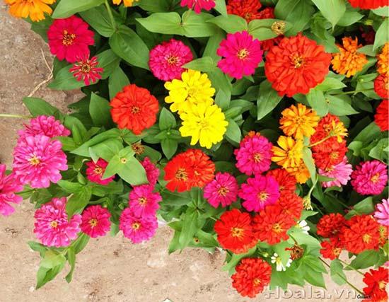 Cây hoa cúc lá nhám