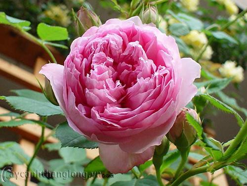 Hoa hồng Cát Anh 272