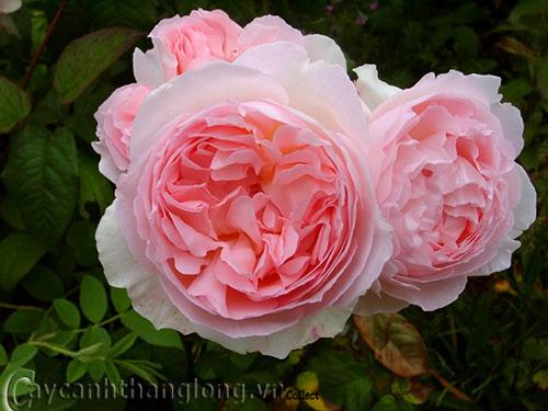 Hoa hồng Hoàng Khánh 275
