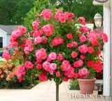 hoa-hong-co-tree-rose