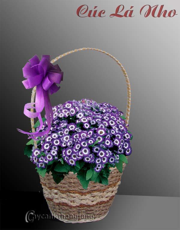 Điện hoa - Cúc lá nho