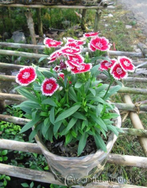Hoa cẩm nhung | hoala.vn