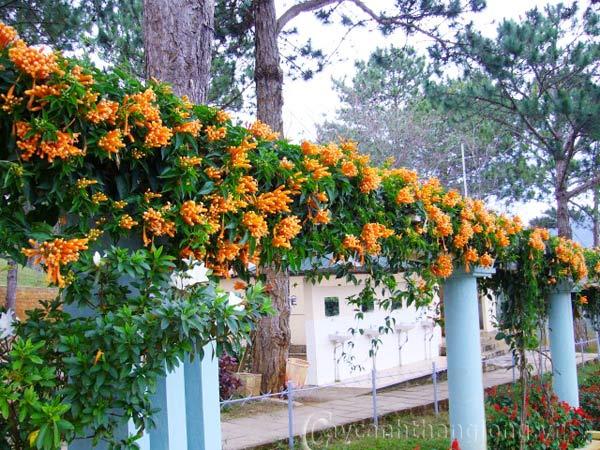Hoa chùm ớt | hoala.vn