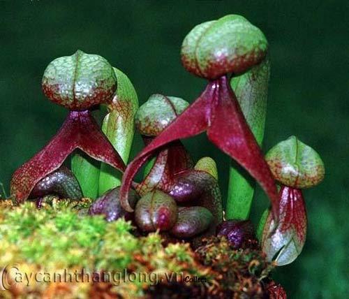 hoa lạ - Loài hoa lạ hình... rắn hổ mang | hoala.vn