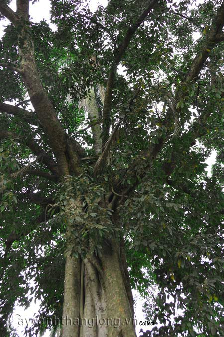 hoa lạ.vn - Kỳ lạ cây dừa mọc từ ngọn đa | hoala.vn