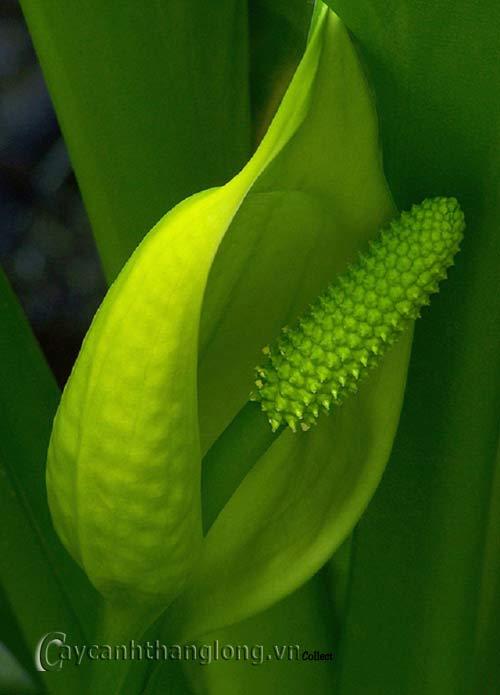 hoa lạ - 7 loài hoa lạ có mùi hương