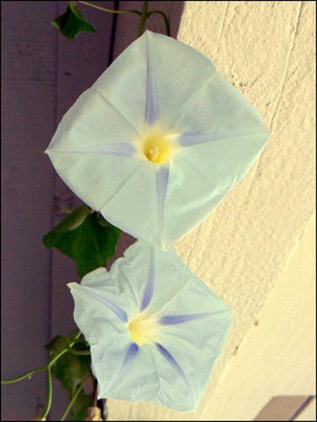 Hoa đột biến đẹp hay quái dị | hoala.vn