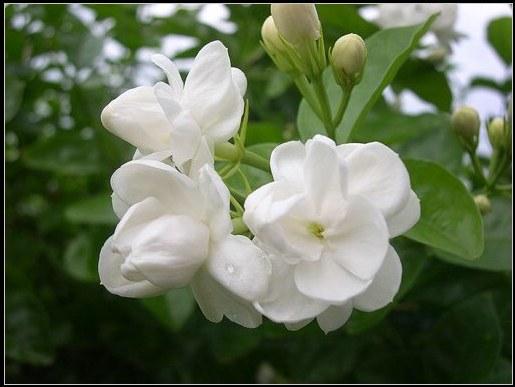 hoa lạ - hoa nhài | hoala.vn
