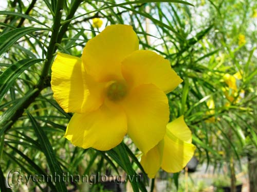 hoa thông thiên | hoala.vn
