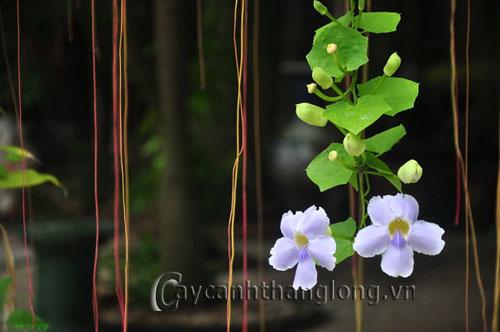 Cát đằng hoa xanh lãng mạn | hoala.vn