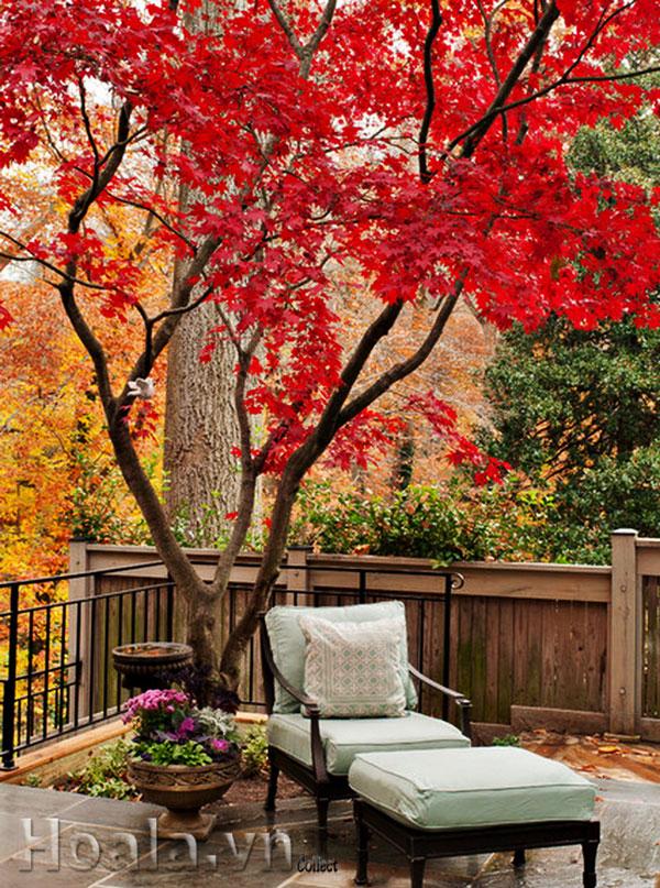 kỹ thuật trồng và chăm sóc cây phong lá đỏ 03